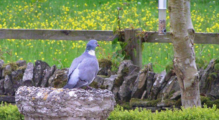 Pigeon on The Chestnuts Birdbath